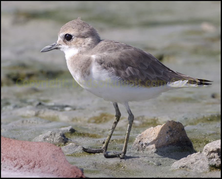 Greater Sand Plover Charadrius leschenaultii