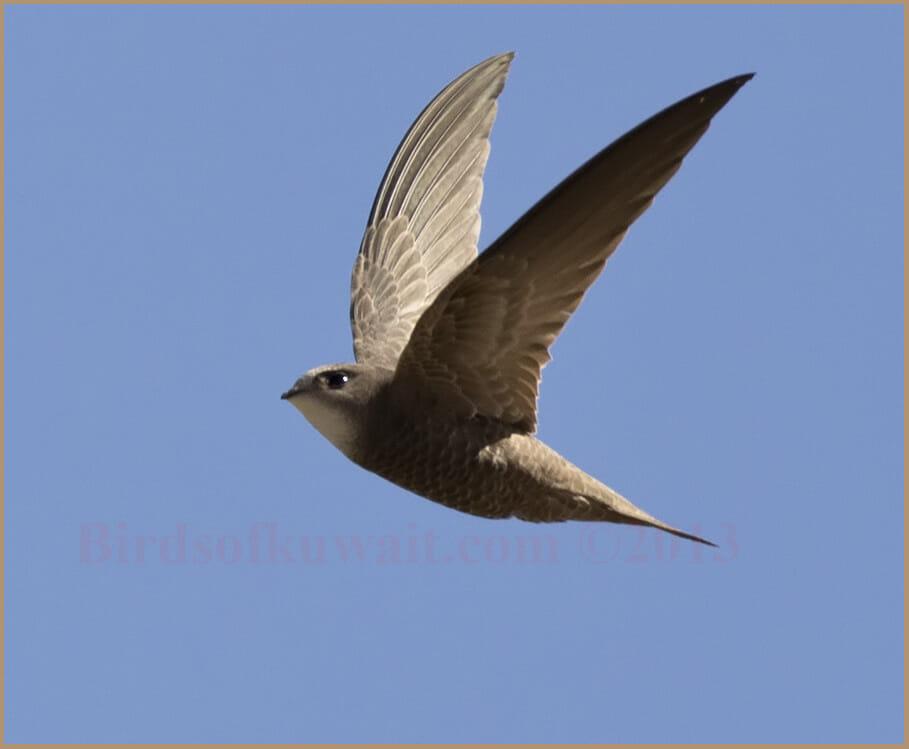 Pallid Swift Apus pallidus