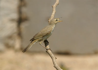Booted_Warbler400