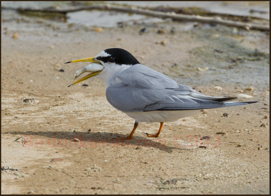 Little Tern Sternula albifrons