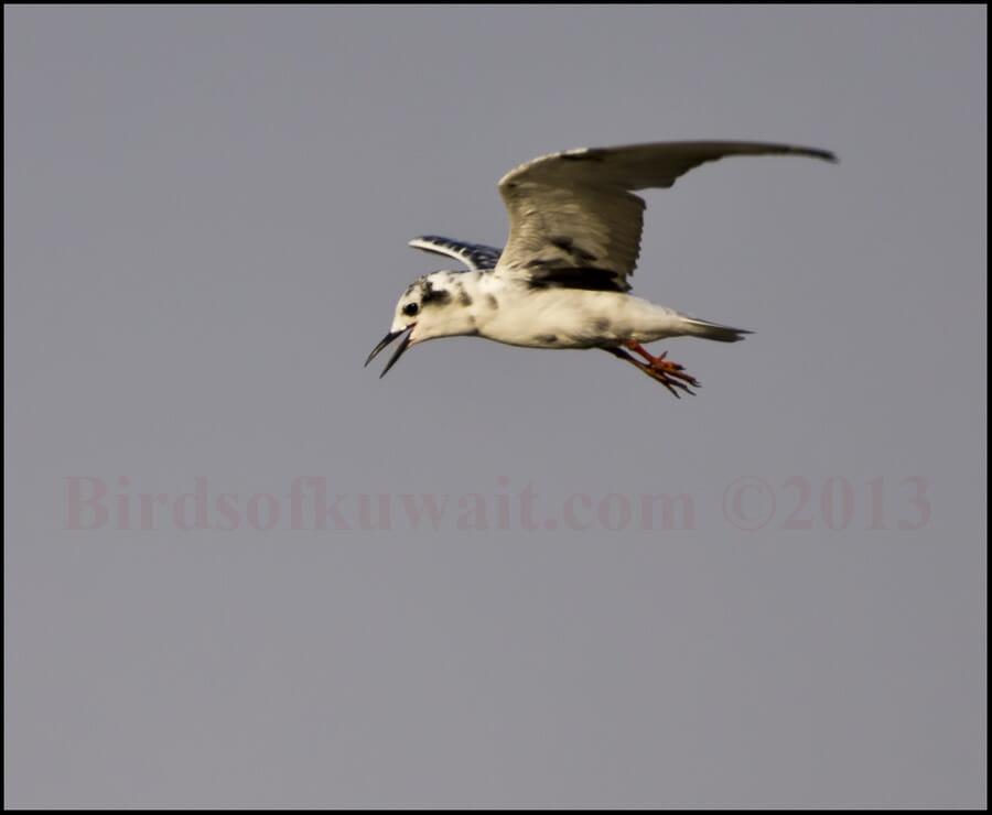 White-winged Tern Chlidonias leucopterus