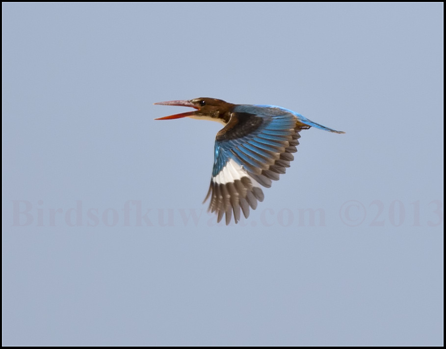 White-throated Kingfisher Halcyon smyrnensis