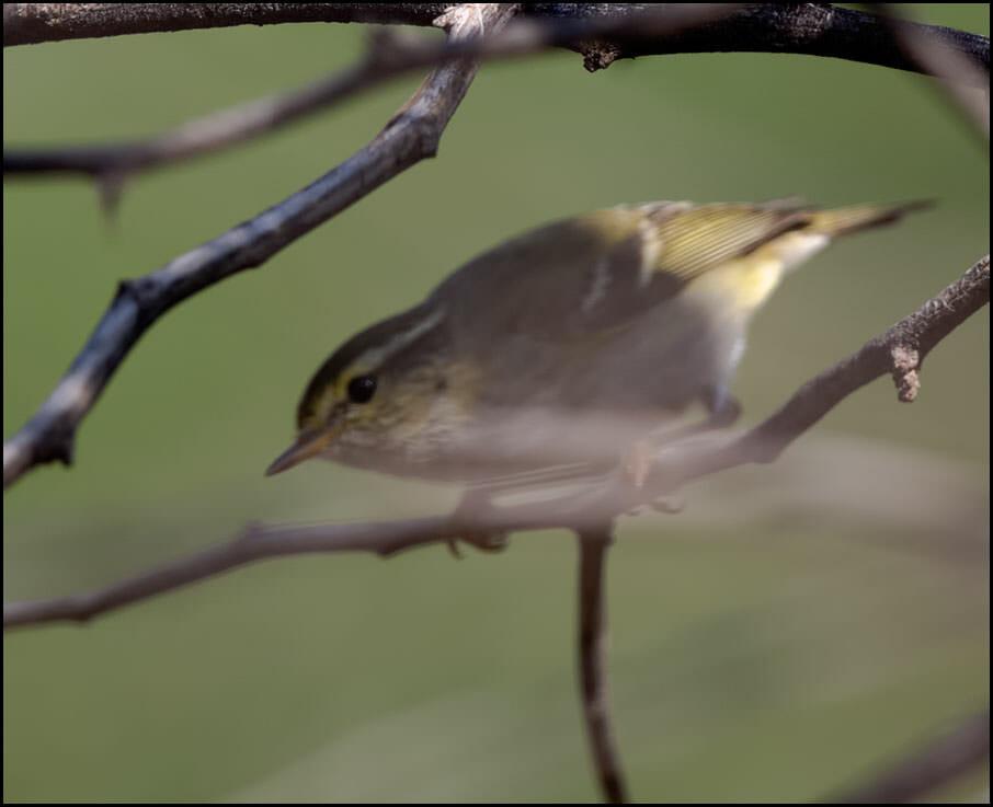 Yellow-browed Warbler Phylloscopus inornatus
