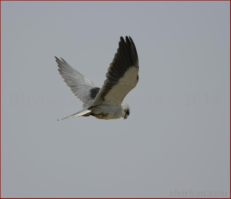Black-winged Kite Elanus caeruleus  vociferous