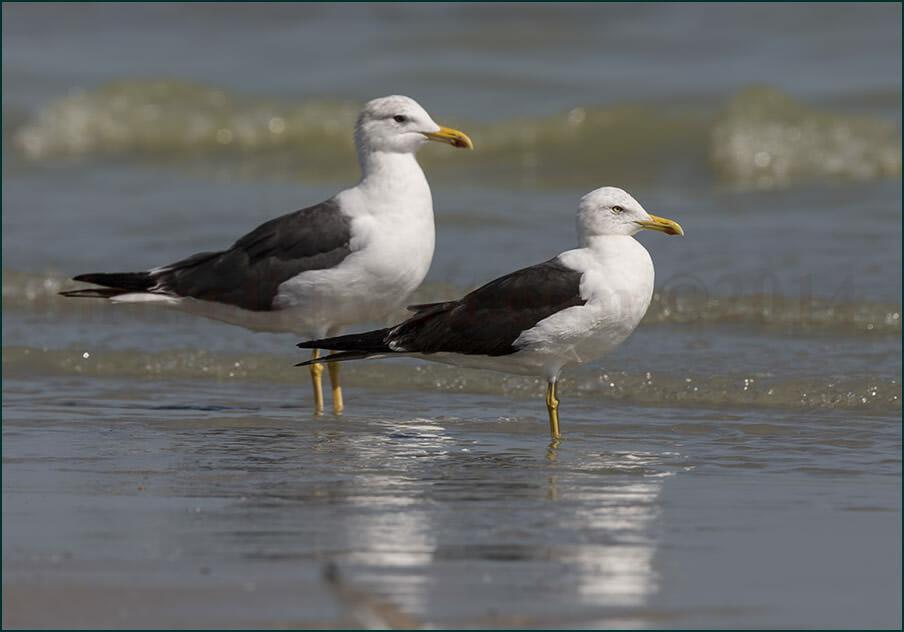 Heuglins and Baltic Gulls