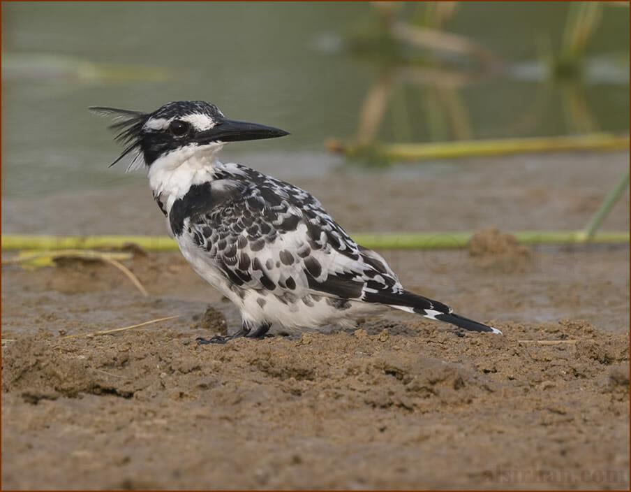 Pied Kingfisher Ceryle rudis