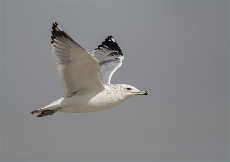 Caspian Gull Larus cachinnans