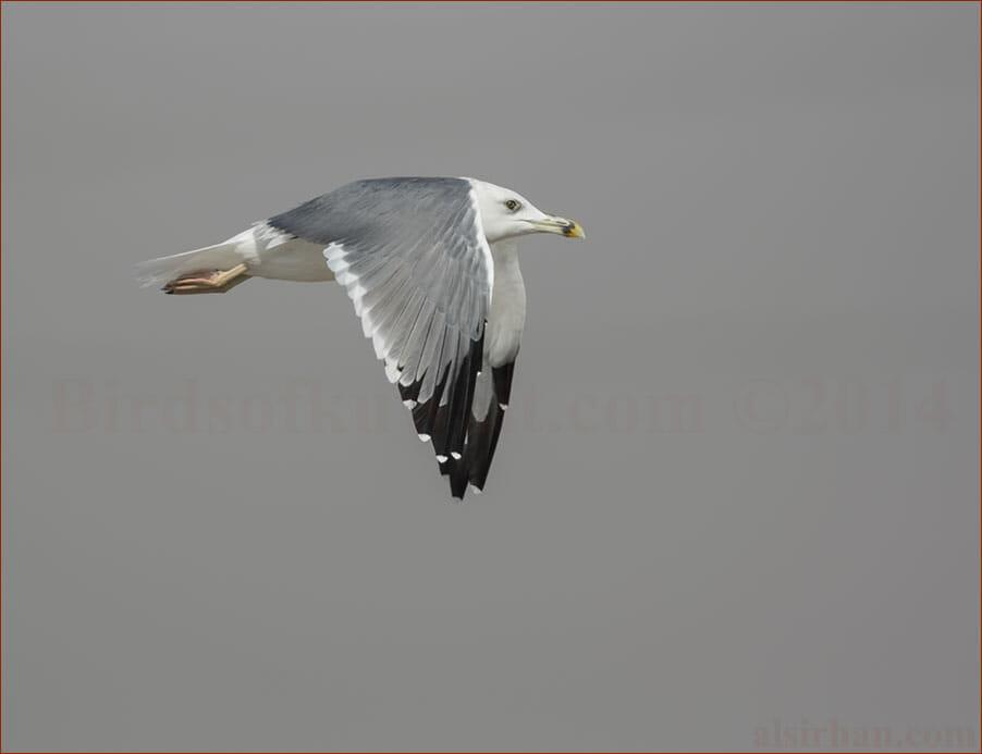 Steppe Gull Larus (fuscus/heuglini) barabensis