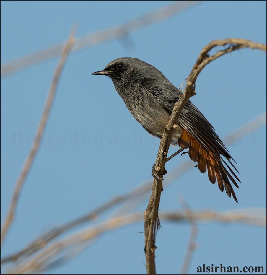 Western Black Redstart Phoenicurus ochruros