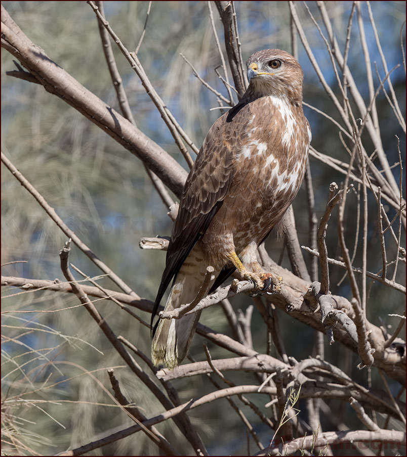 Steppe Buzzard (Buteo buteo vulpinus/menetriesi)