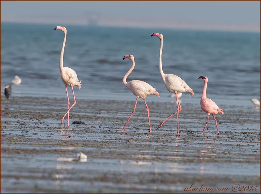 Lesser Flamingo Phoeniconaias minor