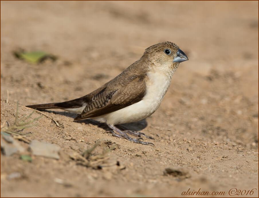 African Silverbill Euodice cantans