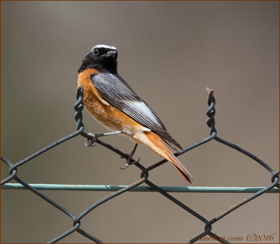 Common Redstart Phoenicurus phoenicurus  samamisicus
