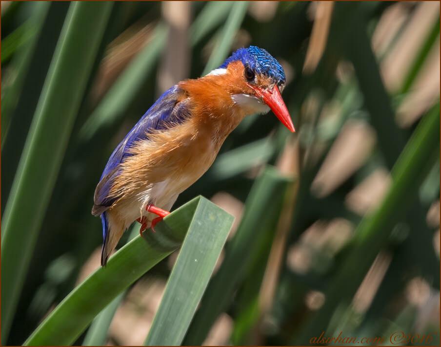 Malachite Kingfisher Corythornis cristatus