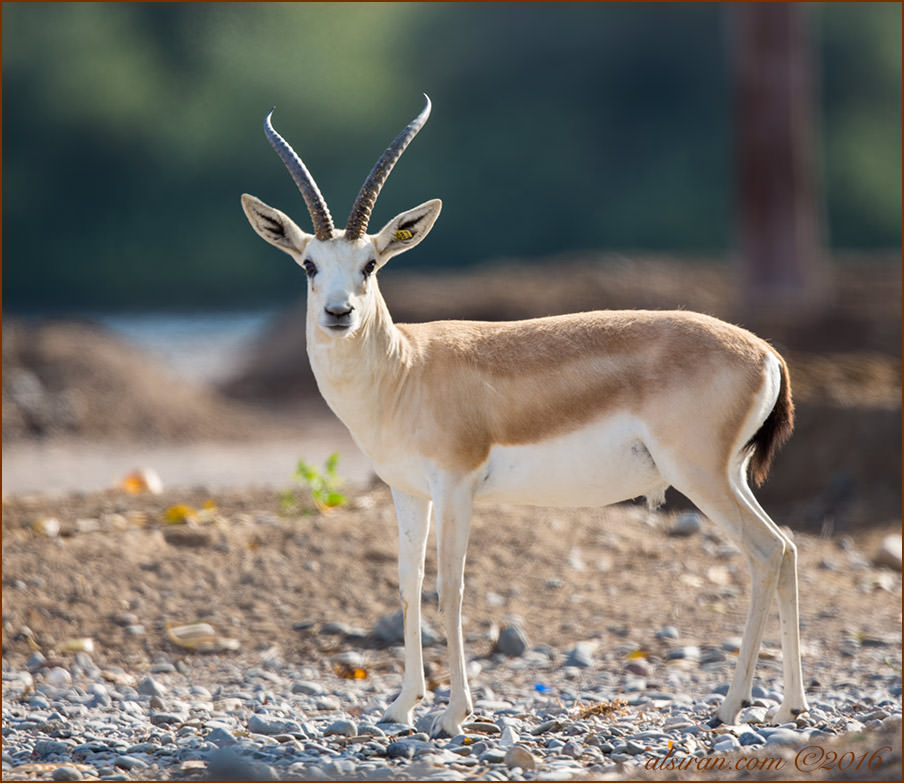 Sand Gazelle Gazella subgutturosa marica