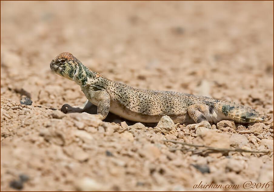 Thomas' Spiny-tailed Lizards Uromastyx thomasi