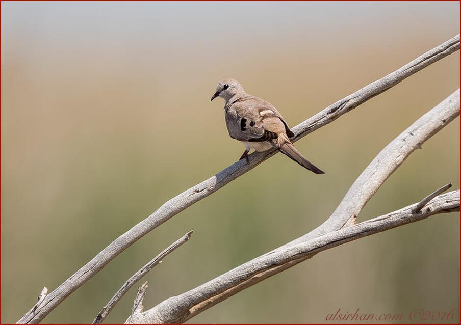 Namaqua DoveOena capensis female