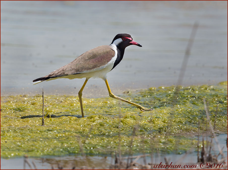 Red-wattled Lapwing Vanellus indicus