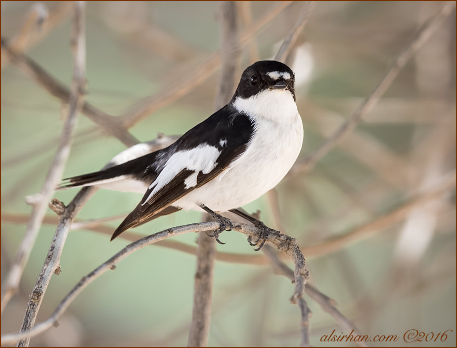 Semi-collared Flycatcher Ficedula semitorquata
