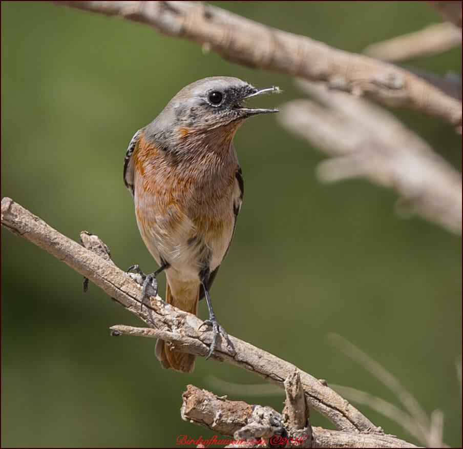 Eversmann's Redstart Phoenicurus erythronotus