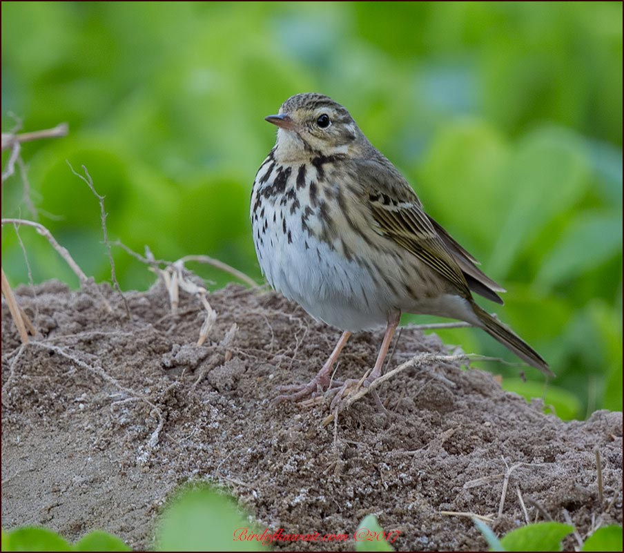 Olive-backed Pipit Anthus hodgsoni