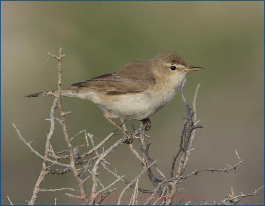 Sykes's Warbler Iduna rama