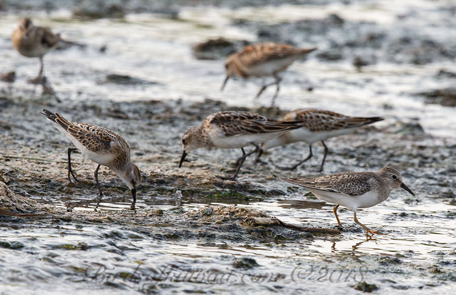 Temminck's Stint Calidris temminckii