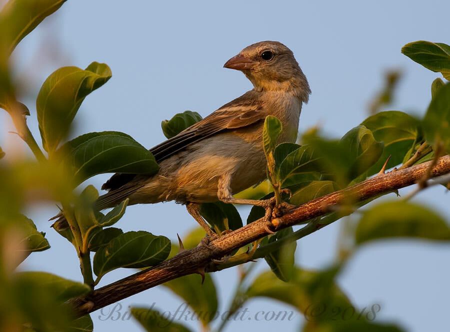 Yellow-throated Sparrow Gymnoris xanthocollis