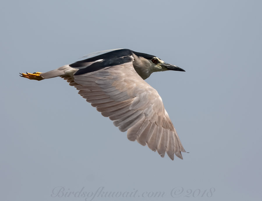 Black-crowned Night Heron Nycticorax nycticorax