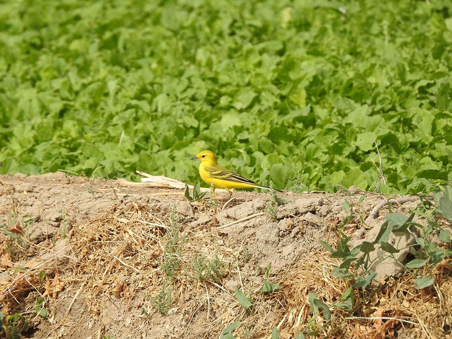 Yellow-headed Wagtail Motacilla (flava) lutea