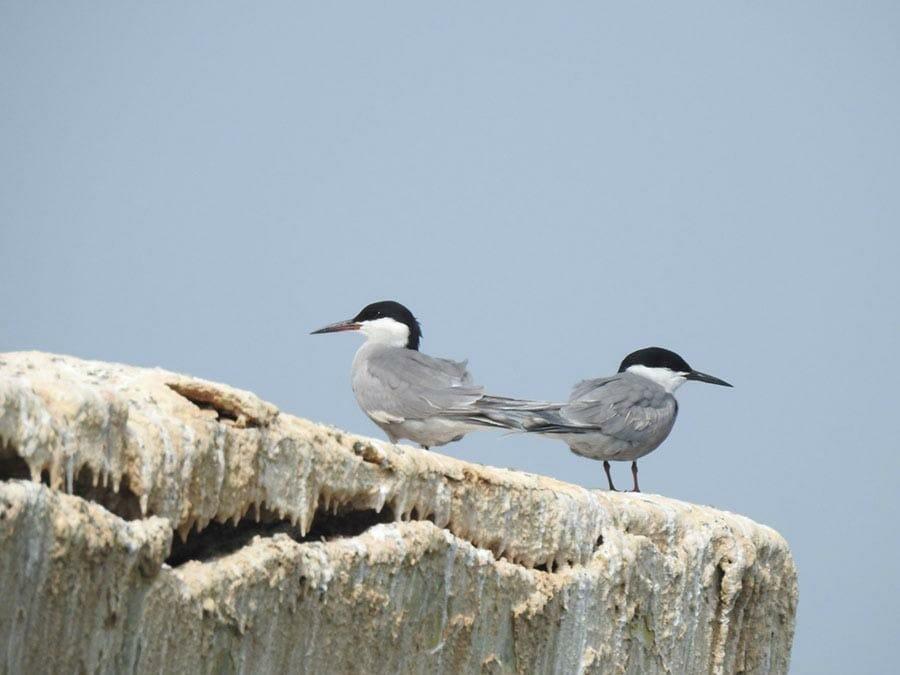 White-cheeked Tern Sterna repressa