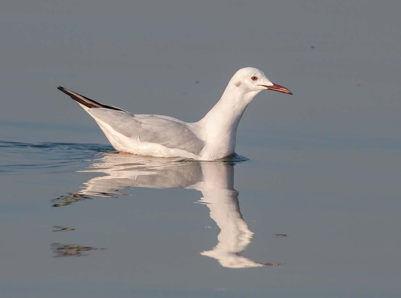 Slender-billed Gull Chroicocephalus genei