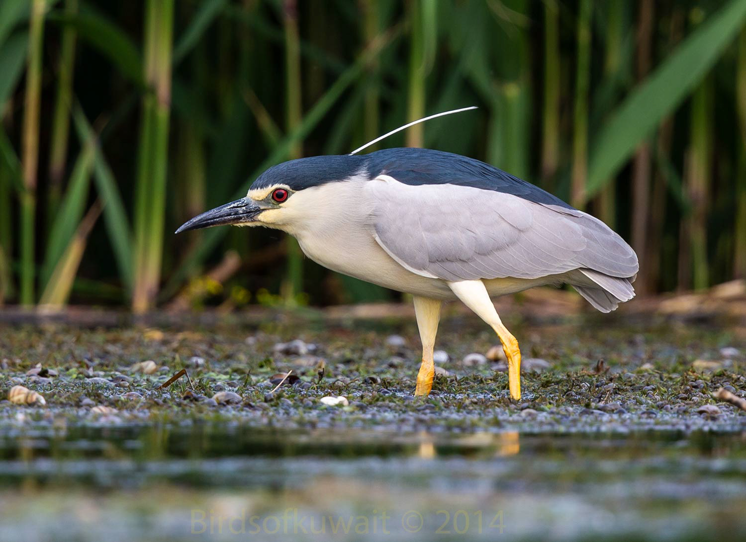 Black-crowned Night Heron Nycticorax nycticorax