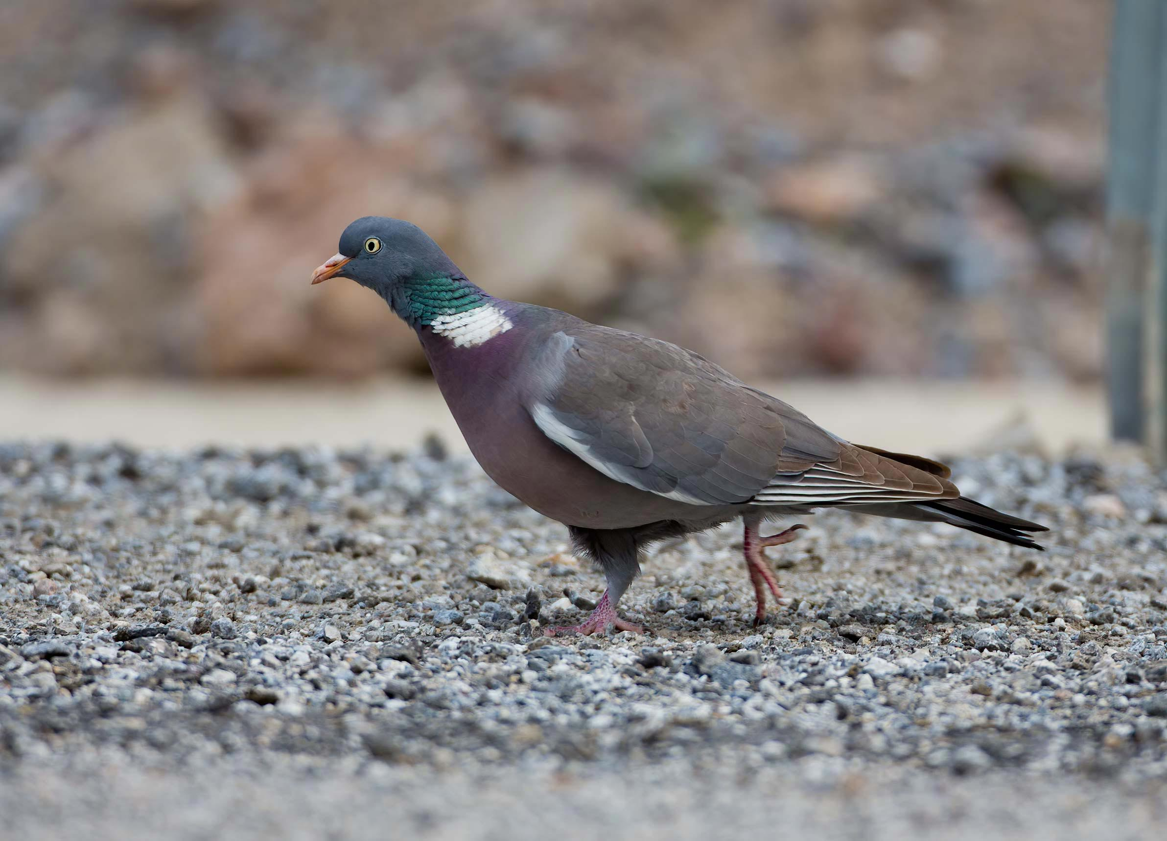 Common Wood Pigeon Columba palumbus
