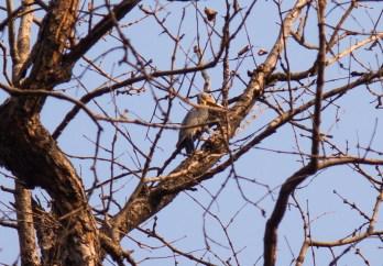 Great Slaty Woodpecker