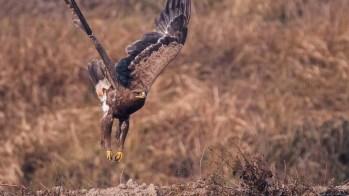 Steppe Eagle at Chobhar Bagmati Kathmandu