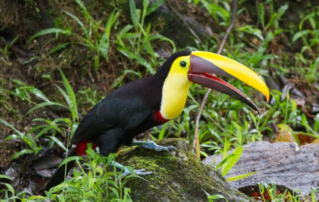Black-mandibled Toucan. Formerly split as Chestnut-mandibled, this has recently been lumped. Noted the blood on the bill. Murderer!
