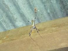 Unknown spider from El Plastico, Costa Rica