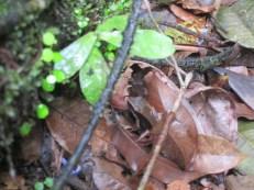 Unknown frog seen at El Plastico (near Rara Avis) Costa Rica