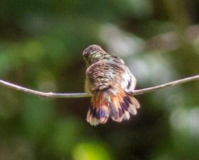 Tail pattern of a female/immature Selasphorus Hummingbird