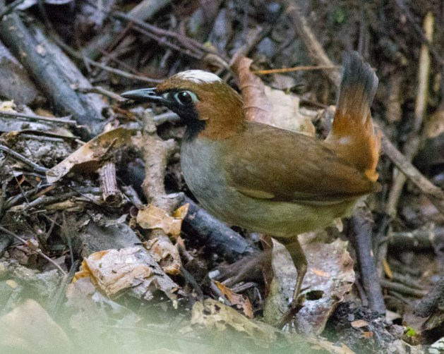 Black-faced Antthrush with a white crown seen on Pipeline Road