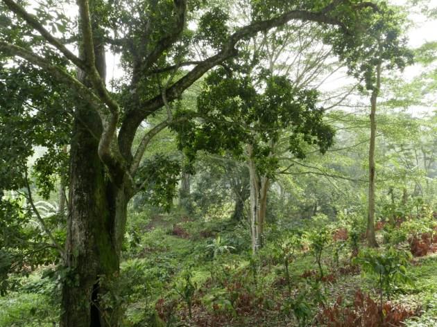 Shade coffee and cacoa zone above Manaure