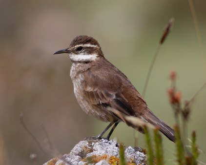 Chestnut-winged Cinclodes, Cocuy National Park