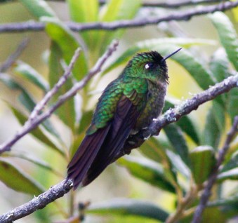 Male Tyrian Metaltail. The tail tips are roughly even with the wing tips when the bird is in a fairly relaxed posture.
