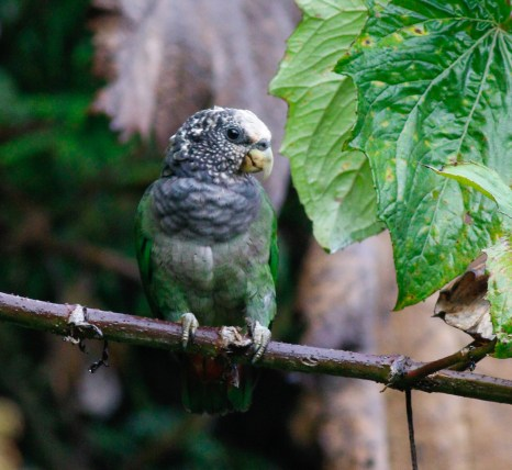 Speckle-faced Parrot