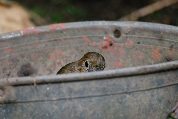 Urrao Antpitta eating worms out of a bucket
