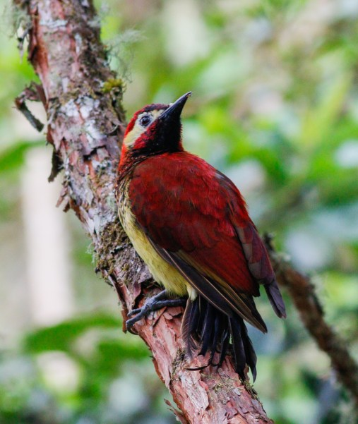 Crimson-mantled Woodpecker photographed at Rio Blanco