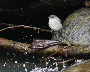 Torrent Tyrannulet along Rio Otun