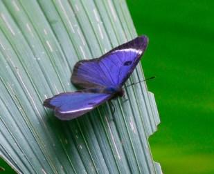 Mesosemia (Eyed Metalmark) butterfly photographed at PN Tatamá