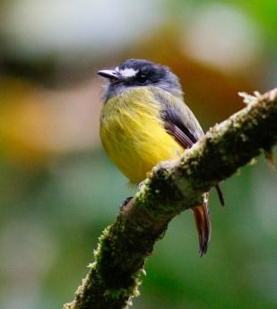 Ornate Flycatcher (Myiotriccus ornatus)
